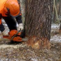 Fortgeschrittene Techniken der Holzfällung (mitteldicke und dicke Bäume) – empfohlene Länge der Gleitschiene – über 38cm